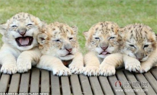 白狮虎兽世界首现为狮子老虎杂交