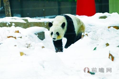 熊猫锦意郑州动物园离奇身亡 园方三缄其口称交配去了