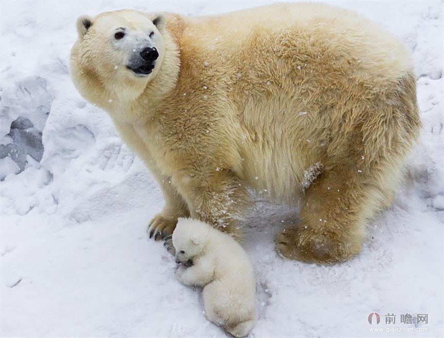 一只北极熊宝宝第一次出门有点害羞