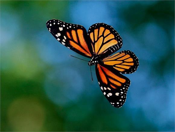 超能力蝴蝶黑脉金斑蝶:用地球磁场导航迁徙