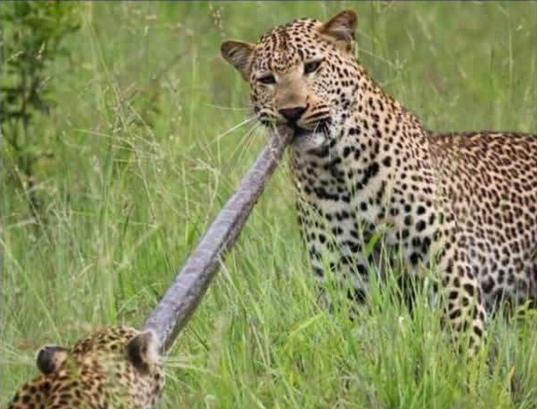 彪悍金钱豹大战蟒蛇 三米长巨蟒惨遭虐杀分食(图)