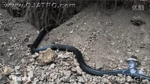 视频中,一条巨型森王蛇残忍绞杀吞食了