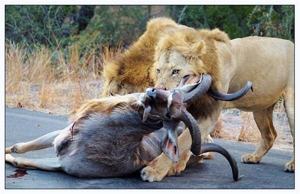 色人与动物�zf�_最后,还是不得不提醒一句,为避免被野兽攻击,出人野生动物园时,最好