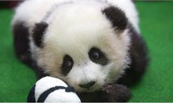 萌萌哒!马来熊猫宝宝亮相