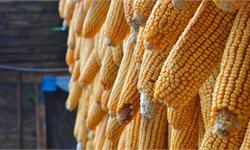 """专家辟谣""""高温把玉米晒成爆米花"""":品种特性"""