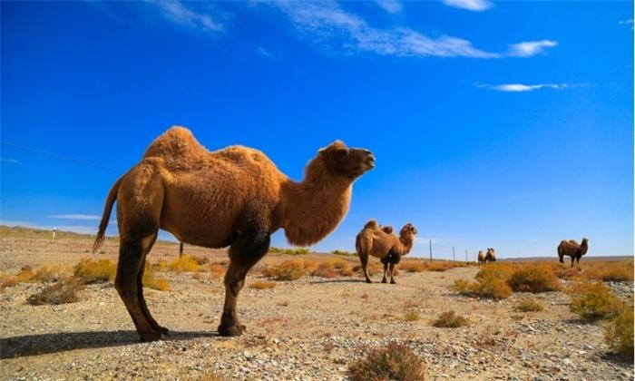 澳杀5000头骆驼