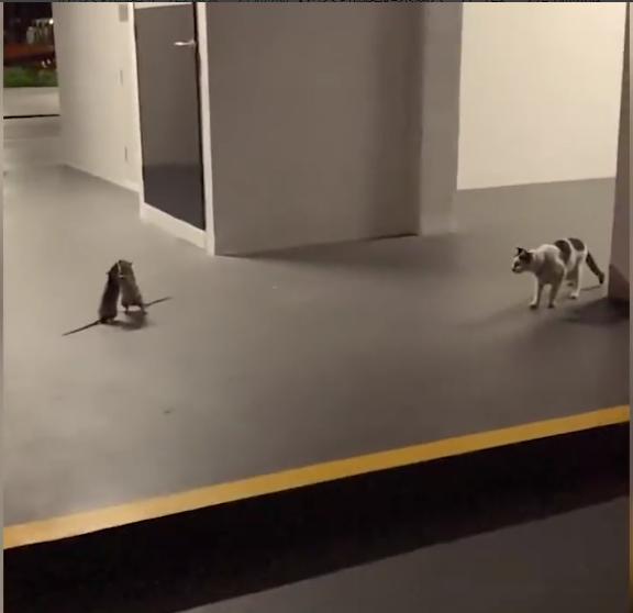 """两只老鼠站立互殴一旁猫咪被吓傻  网友:""""猫你不赶紧劝架干嘛呢?"""""""