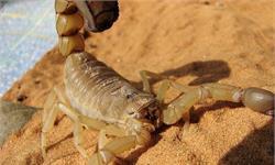 蝎毒可能是世界上最昂贵的科研材料