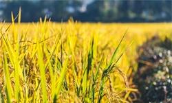 袁爷爷的又一个目标实现了!杂交水稻双季测产1603.9公斤,创造新纪录!