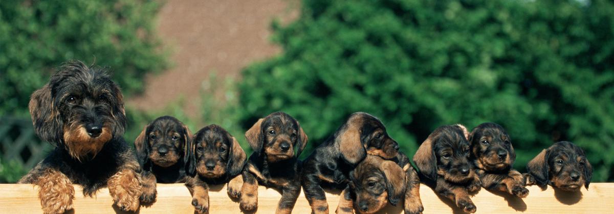 美国首例感染新冠病毒的宠物狗死亡:死前被检测出患癌,但死因存疑