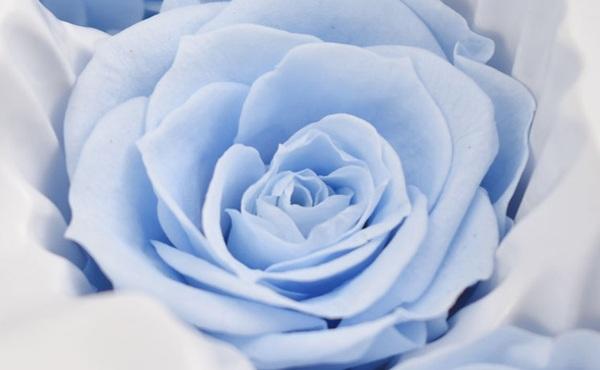 ROSE幻花 玫瑰永生花花材