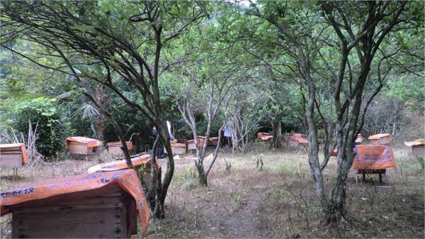 碧园农家土蜂蜜养殖 农家自产野生百花蜜
