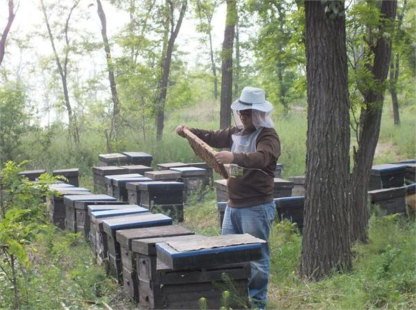 周家兄弟蜜蜂园 农家自产椴树蜂蜜