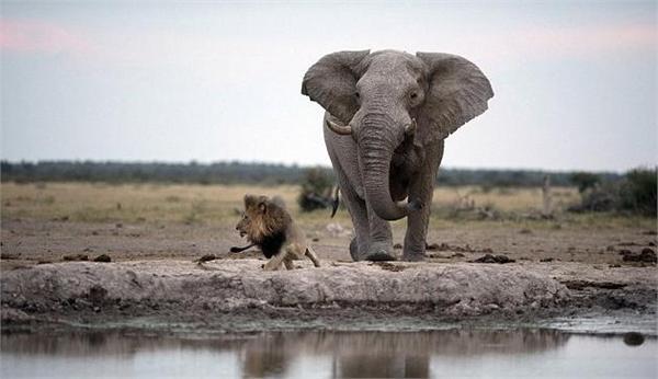 偷排_狮子口渴难耐偷喝大象水源 草原之王险被踩死落荒而逃_前瞻资讯 ...