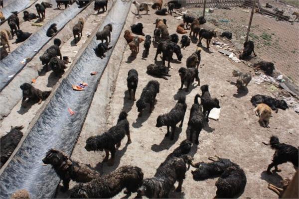 藏獒经济崩盘售价千万的藏獒神话破灭 流浪藏狗饿到狗吃狗