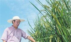 巨人稻试种成功亩产突破1吨 稻田还能养殖青蛙泥鳅等水产品