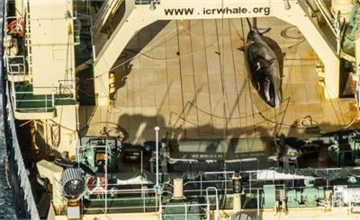 日本捕鲸引公愤一年至少捕杀300余头