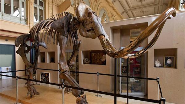 价值超45万欧元!法国猛犸象遗骸将拍卖 生活在15000年前牙齿长达3米