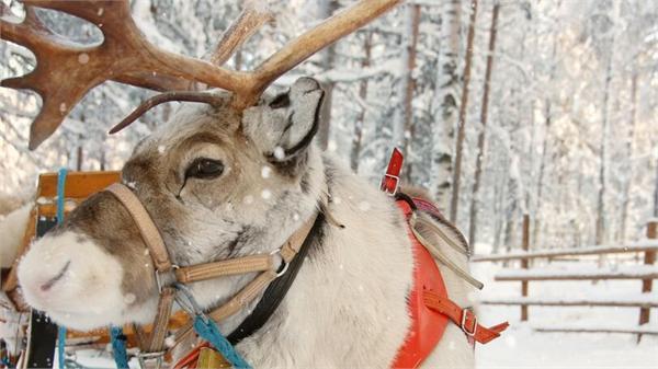 挪威法院下令扑杀驯鹿