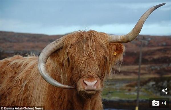 高原母牛牛角倒长