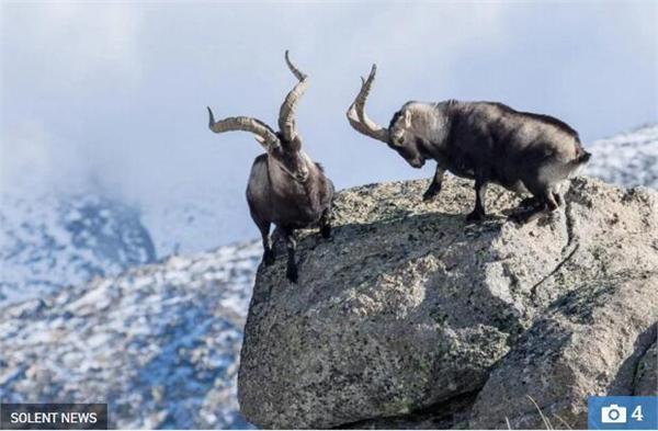 两山羊悬崖边搏斗