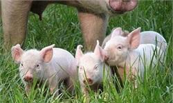 生猪生产现过剩苗头 生猪养殖行业全面亏损