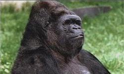 全球最聪明!大猩猩可可去世 曾和小李子同台表演还是个<em>猫</em>奴