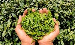 中国茶叶行业发展趋势分析 连锁经营成茶企重要选择