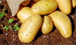 """英国人炸了!欧洲土豆减产 大不列颠""""国菜""""遭受沉重打击"""