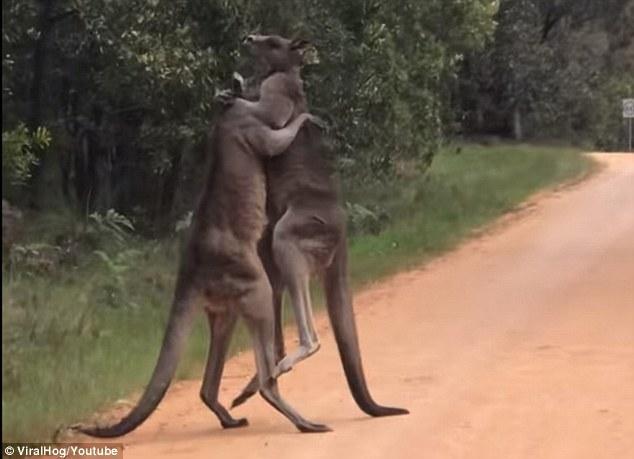 澳袋鼠路边打斗