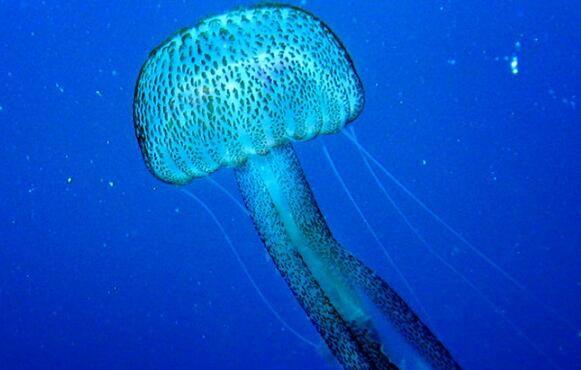 生物发光LED照亮未来 研究人员从水母提取稳定荧光蛋白为灯供电