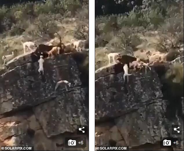 西班牙狩猎惊险骇人一幕 12条猎犬追逐公鹿活生生被摔下悬崖