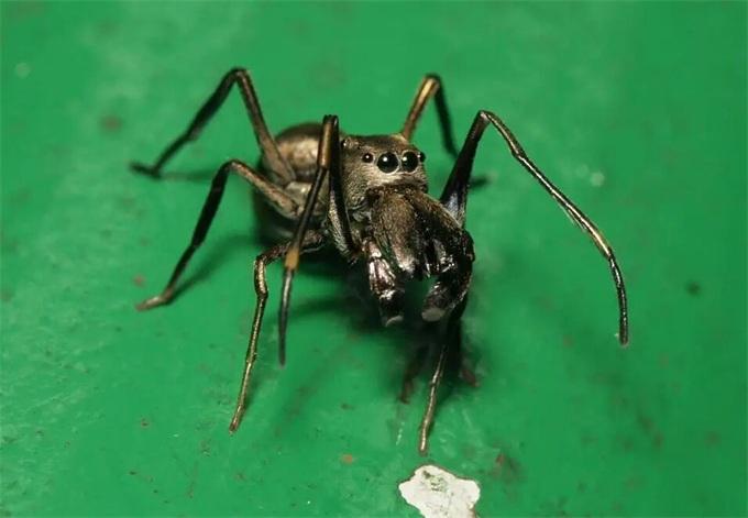 蜘蛛哺乳行为
