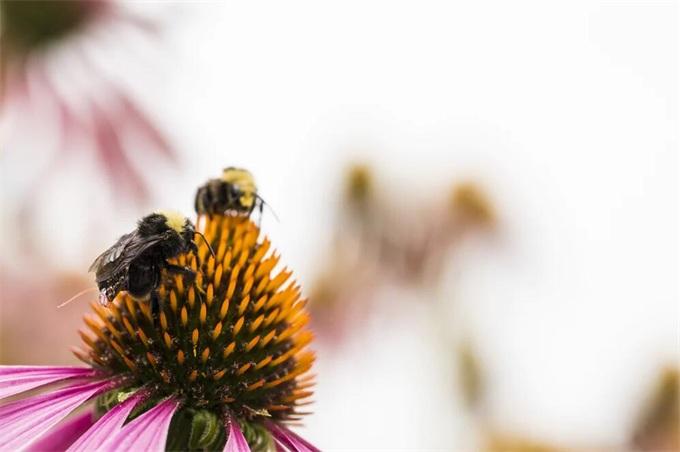 会飞的数据收集法宝!科研人员给蜜蜂穿上电子背包:轻松实现农场分析与监测