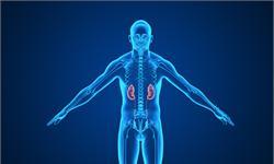 美研究所的3D器官工程计划取得重大进展:肾类器官的体外培养可以形成血管系统