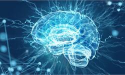 """科学家培育出""""迷你大脑""""仅有扁豆大小 能控制肌肉并连接脊髓"""
