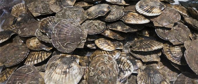 獐子岛一季度营收5.59亿元 播虾夷扇贝收入减少