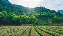 打造茶文化田园综合体成发展趋势