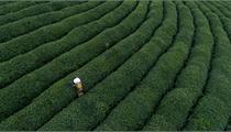"""如何成功打造""""茶文化""""田园综合体?"""