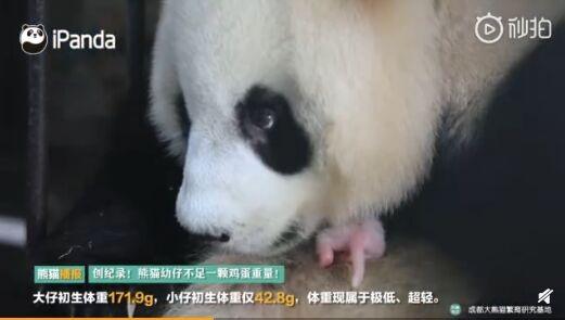 再创纪录!全球最小熊猫幼仔平安出生 体重仅42.8克比鸡蛋还轻
