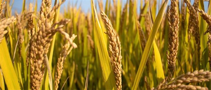 每公顷10.8吨!中国杂交水稻在非洲创纪录 帮助200万