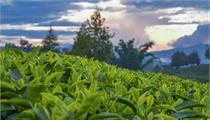 福建省安溪县现代农业产业园:大力发展茶产业