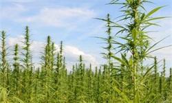 2019年中国<em>工业</em><em>大麻</em>行业市场分析:种植面积占全球一半,利好政策完善产业链布局