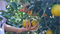 江西省信丰县现代农业产业园 做大做强脐橙产业