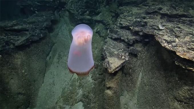 探险者在太平洋深处发现神秘水母 宛如幽灵飘荡还会变形