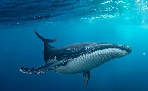 日本捕1430吨鲸肉 曾打着科学研究的幌子捕杀