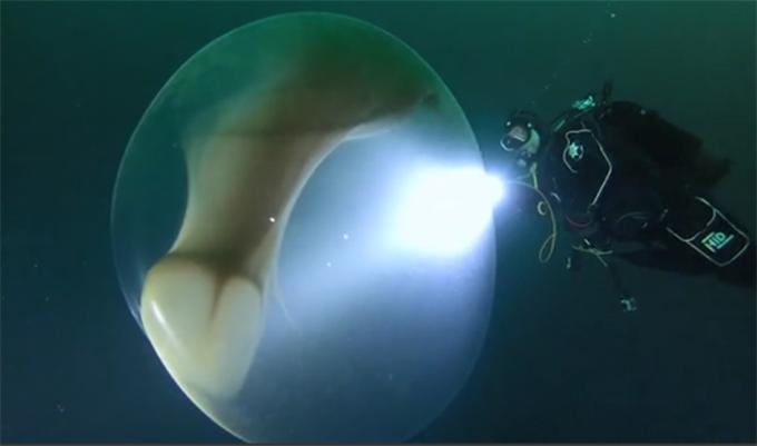 罕见!科学家发现巨型鱿鱼卵囊 卵中生物很像是入侵地球的外星人