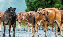 世界首例体细胞克隆牛双胞胎去世 活了21年健康长寿还生下了小牛