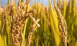 中国第三代杂交晚稻亩产超1000公斤 袁隆平:达到预期,很满意