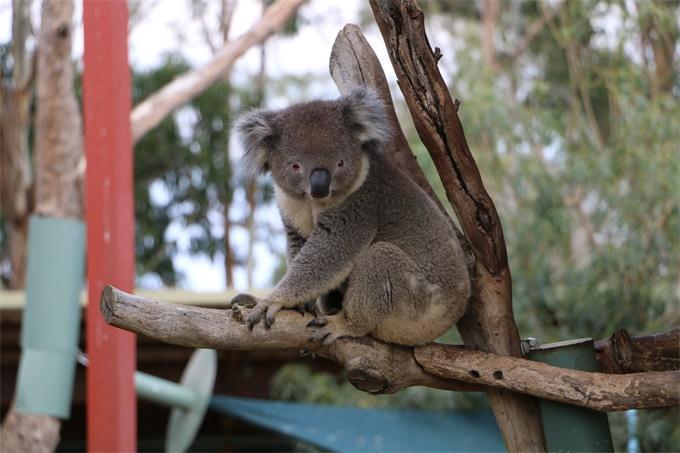 触目惊心!澳洲大火超350只考拉死亡 获救幼崽脱水严重缩成一个小球